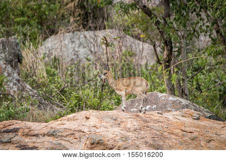 Male Klipspringer Standing On Rocks.