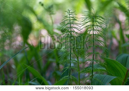 Young horsetail growing in a forest clearing in the spring