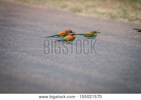 Three Little Bee-eaters Sitting On The Road.