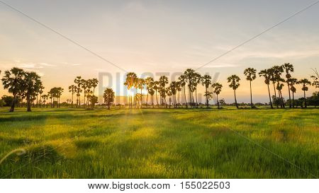 Landscape of jasmine rice green field with toddy palm tree in sunset time background at countryside Thailand