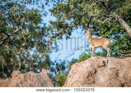 Klipspringer On A Rock.