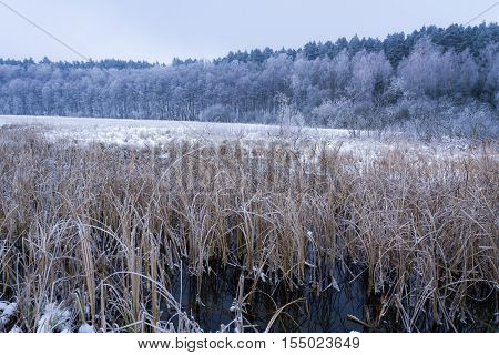Frozen Reeds In The Lake At Winter