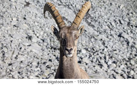 Portrait of an Alpine Ibex in a rocky slope.