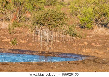 Spotted Hyena At A Waterhole.