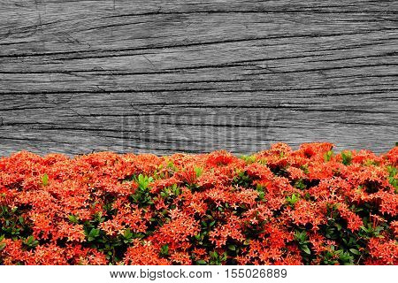 black and white wooden wall background with red Ixora flower and copy space for text