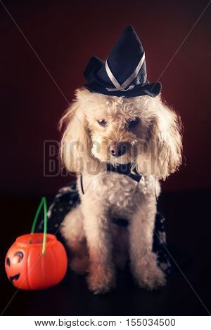 cute maltipoo puppy with witch halloween costume and plastic pumpkin on dark background