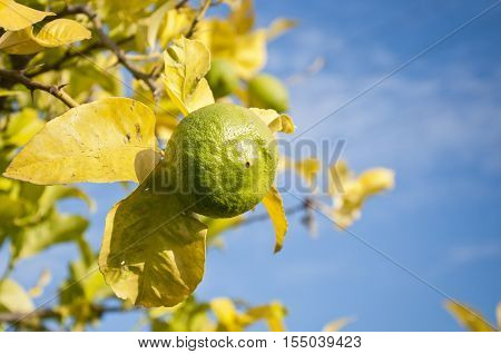 Close up of unripened lemon on a branch