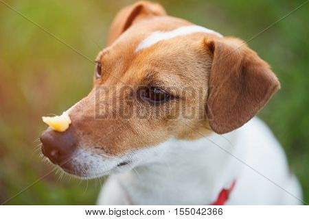 Portrait of trained Jack Russell puppy sitting in green park with piece of food on his nose waiting for command from owner. Cute small domestic dog good friend for a family and kids.