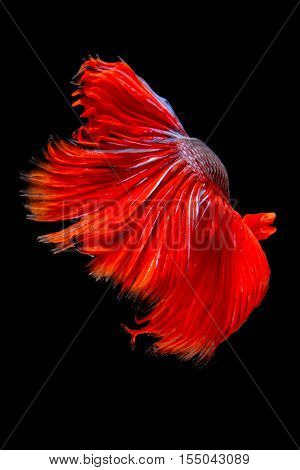 Red tail siamese fighting fish half moon betta fish isolated on black