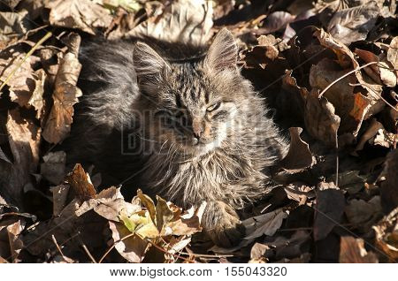 Young shaggy stray cat lying on dry autumn leaves in sunny day
