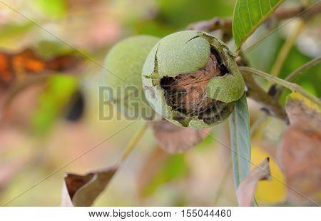 Closeup shot of a ripe walnut on tree