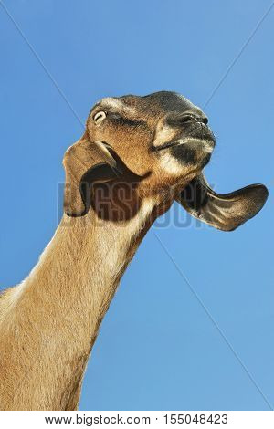 Closeup low angle view of a Nubian goat against clear blue sky