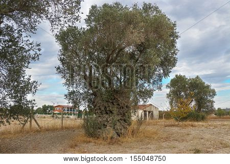 2200 years old olive tree in Urla, Izmir - Turkey. Very old olive tree.