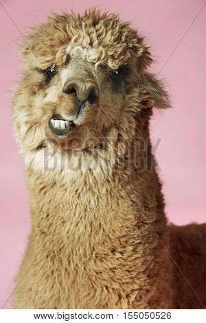 Closeup of an Alpaca against pink background