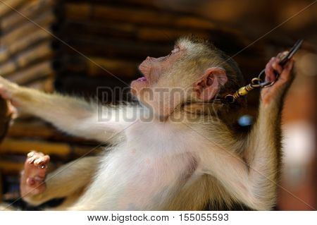 a young brown macaca monkey in Chains. Thailand