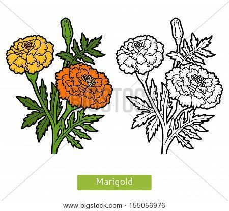 Coloring book for children, colorless flower Marigold