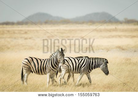 Herd Of Zebras Grazing In The Bush. Wildlife Safari In The Etosha National Park, Top Travel Destinat