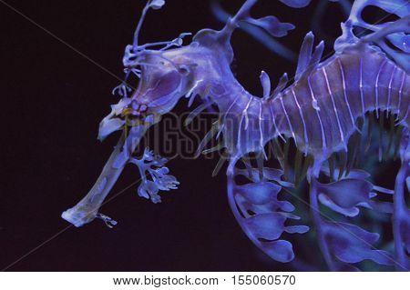 A sea dragon swimming in the tank