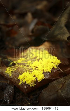 tiny yellow mushroom were covered with fallen leaves