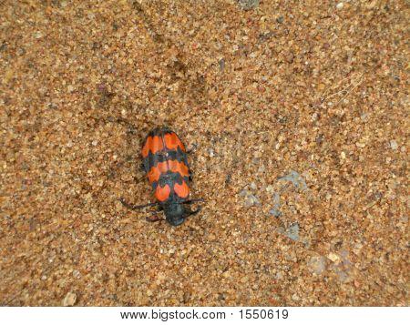 Beetle Little
