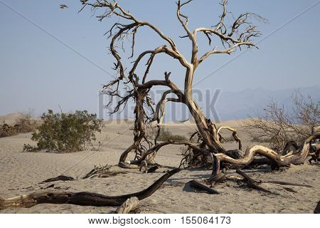 Dead tree at Mesquite Flat sand dunes in Death Valley California
