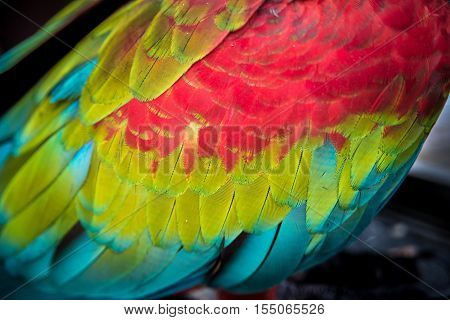 Close-up On Colorful Quill Of Scarlet Macaw, Background.