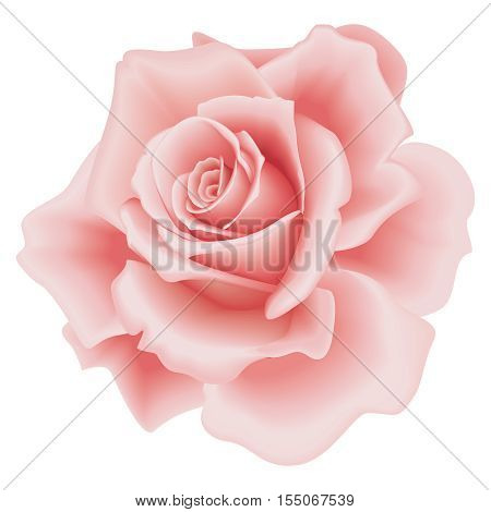 Isolated Beautiful Pink Rose on the White Background