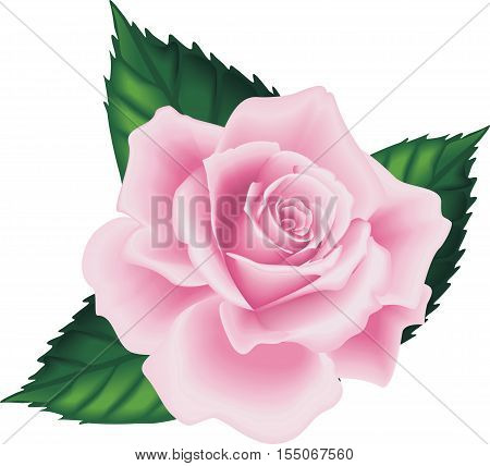 Isolated Beautiful Pink Rose with Green Leafs on the White Background