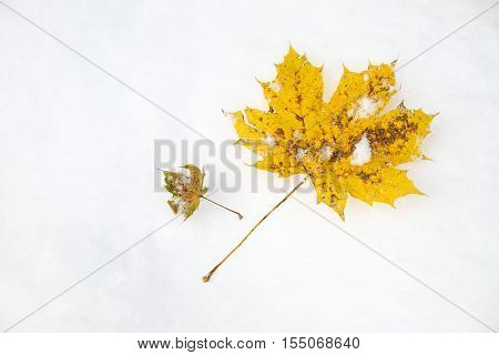 Maple leaf aka acer palmatum in autumn when the first snow fell