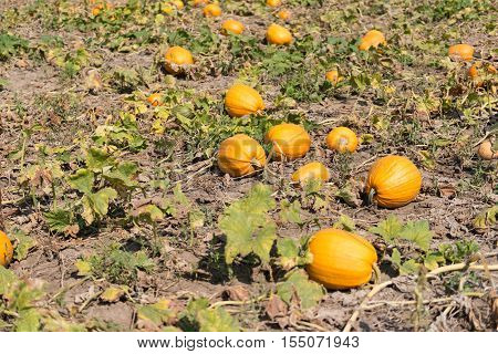 pumpkin growing on the farm  organic, farmyard