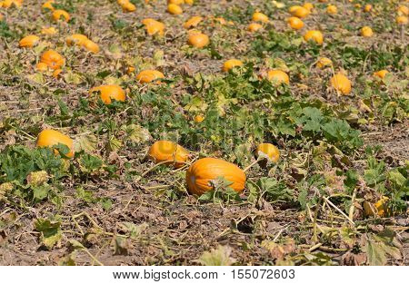 organic, farmyard pumpkin growing on the farm