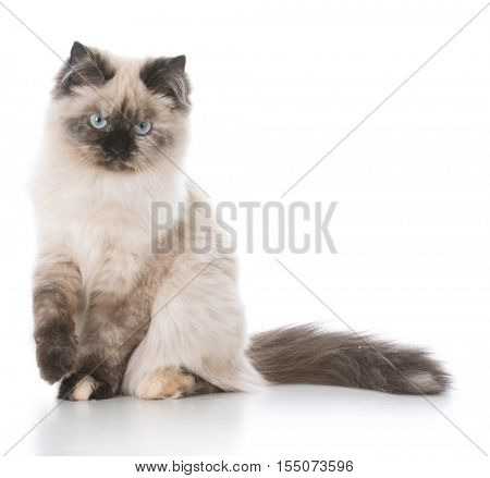 sour looking ragdoll kitten on white background