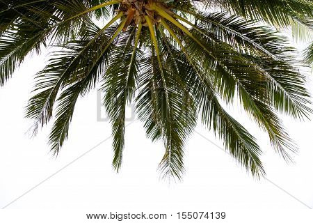 coconut leaf on white background - Stock Photo
