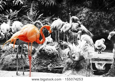 Pink Flamingo Amazingly beautiful plumage isolated on black and white background