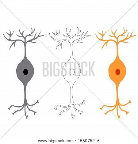 Bipolar neuron, nerve cells neurons, isolated on white background