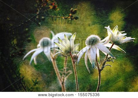 Luminous antique style Flannel Flowers (Actinotus helianthi) in the Australian bush. Grunge and vintage textured photo.