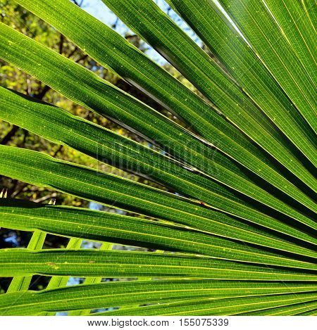 Abstract lines of cack lit fan-shaped Cabbage Tree Palm Leaves (Livistona australis) in rainforest in the Royal National Park, New South Wales, Australia