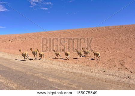 Vicugnas running away near road in the desert.