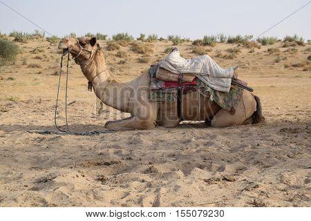 Camel resting on the sands in Thar desert, Jaisalmer, Rajasthan, India