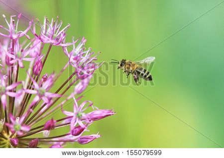 small striped bee flies to the flower purple ornamental onion