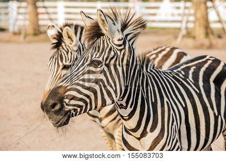 Wild Zebra socialising at zoo in Thailand