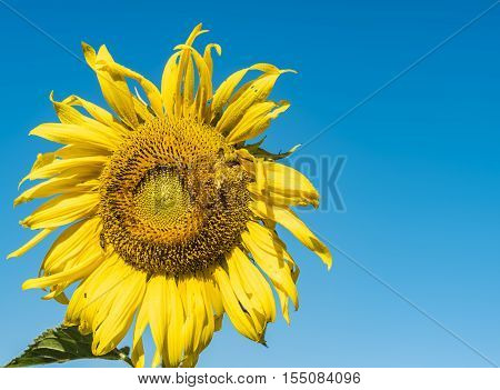 Field of sunflowers on blue sky,beautiful  sunflowers.