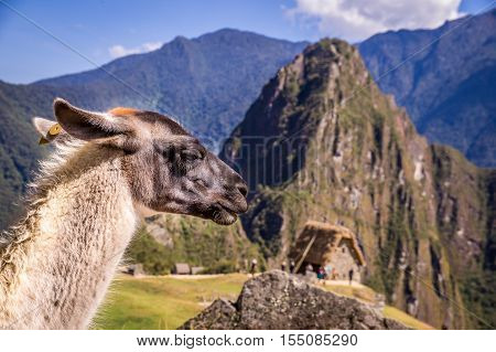 Llama in front of Huayna Picchu, the famous mountain at the lost Inca city Machu Picchu in Peru. Machu Picchu is listed as UNESCO word heritage.