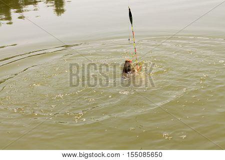 Carp In Lake.
