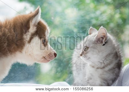 Close up of beautiful american shorthair cat looking and smile at siberian puppy dog.