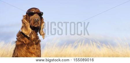 Website banner of a funny Irish Setter dog
