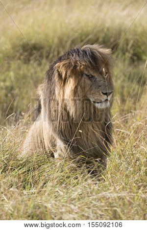 Mature male lion in Masai Mara National reserve Kenya Africa