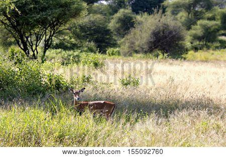 A black-faced impala antelopes (Aepyceros melampus) grazing in the savannah at Tarangire National Park, Tanzania