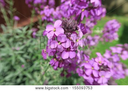 The beautiful purple flower Erysimum Bowles Mauve
