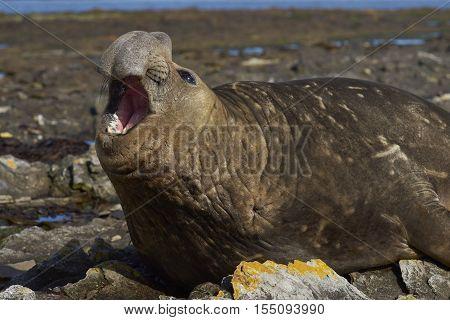 Male Southern Elephant Seals (Mirounga leonina) on the coast of Carcass Island in the Falkland Islands.